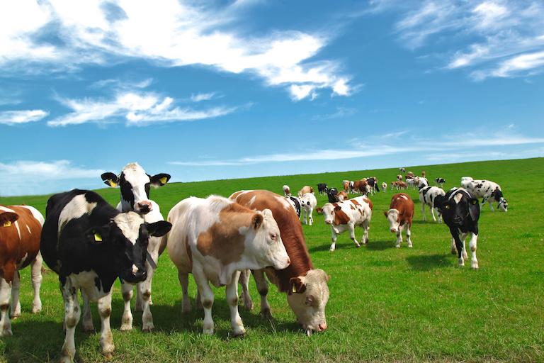 Швйецарские коровы