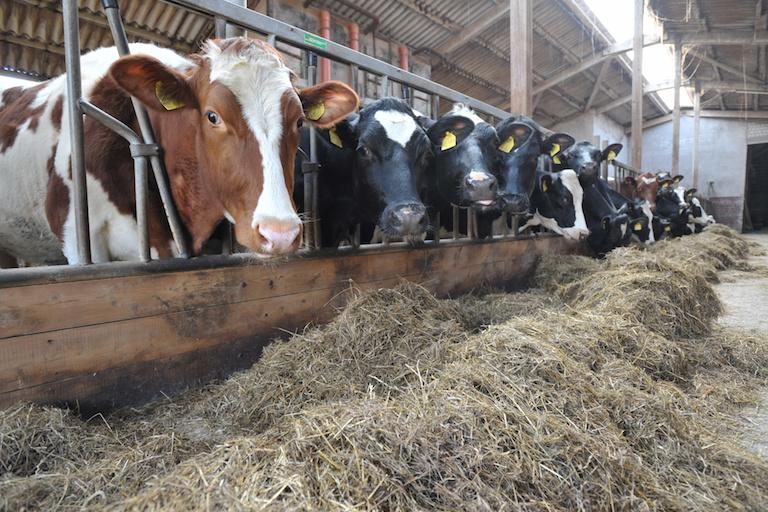 коровы в Швейцарии
